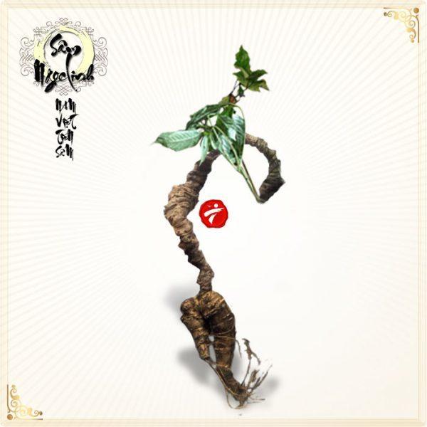 Sâm Ngọc Linh núi 50 năm tuổi loại 1 lạng/1 củ
