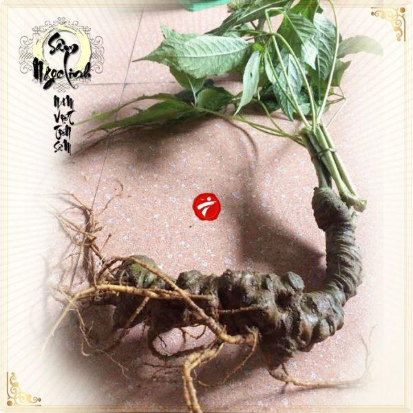 Sâm Ngọc Linh núi 60 năm tuổi loại 2 lạng 1 củ