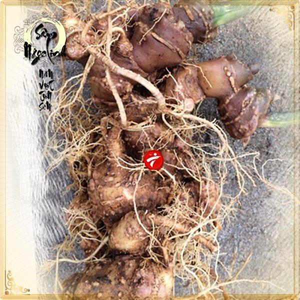 Sâm Ngọc Linh trồng cao cấp loại 30 năm tuổi 1,2 kg/củ