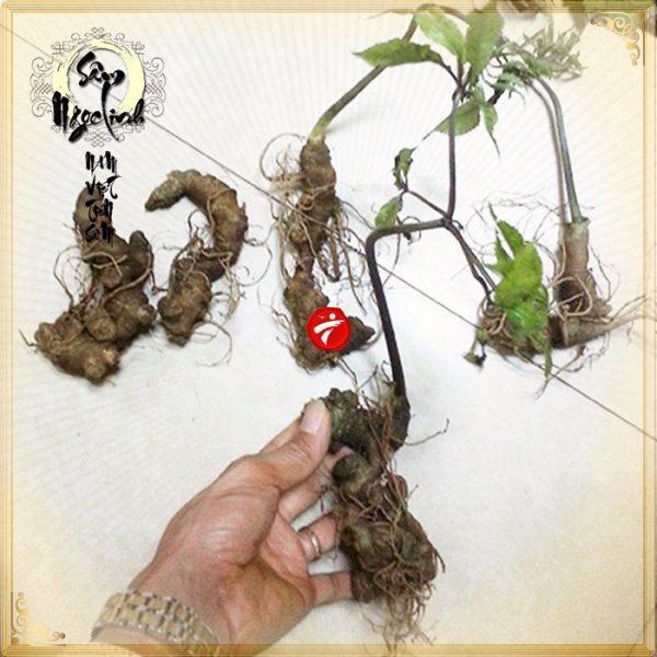Sâm Ngọc Linh trồng chất lượng cao loại 10 - 20 củ/1 kg
