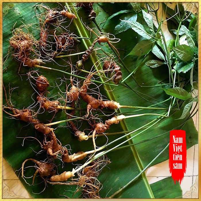 Sâm Ngọc Linh 8 - 10 năm tuổi 20 củ/kg NS179