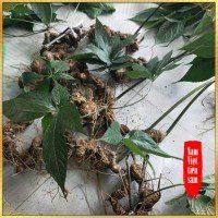 Sâm Ngọc Linh loại 1 tuổi từ 10 - 20 năm 4 đến 7củ /kg NS180 10