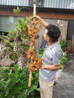Cận cảnh củ sâm Ngọc Linh khủng 2,7kg