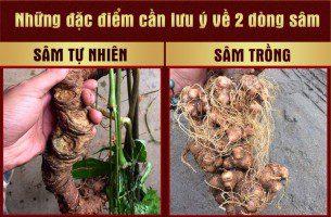 Hướng dẫn cách phân biệt Ngọc Linh tự nhiên và sâm Ngọc Linh trồng 1